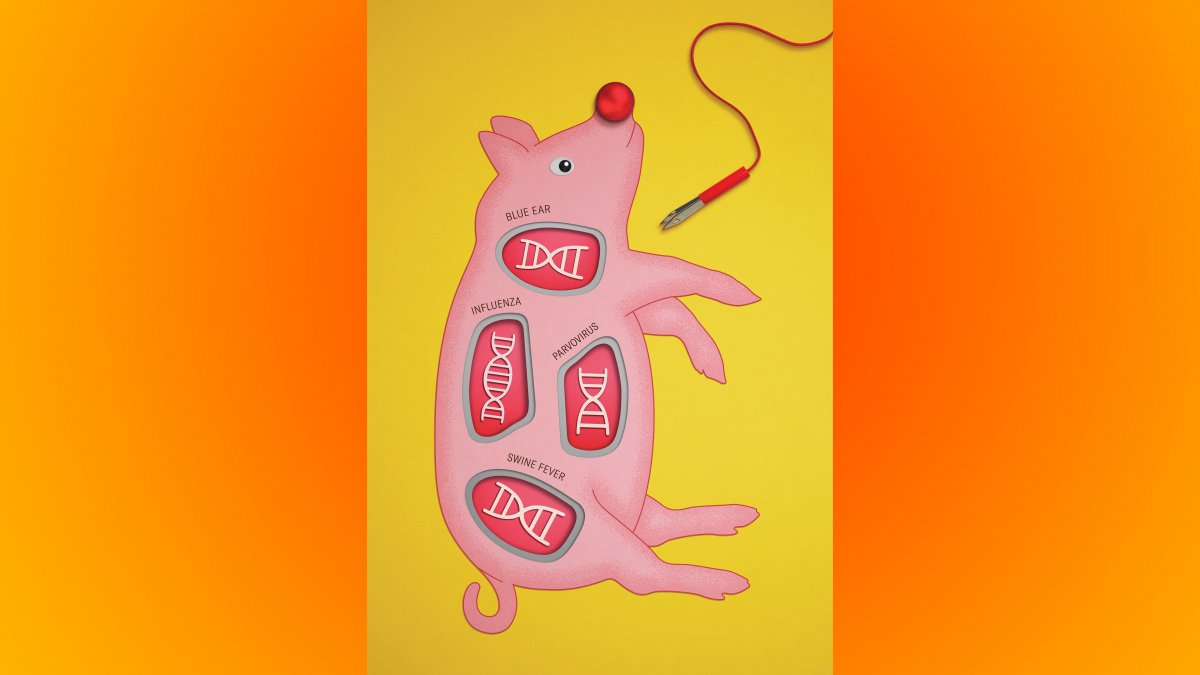 CRISPR: Wie die Genschere Schweine immun macht
