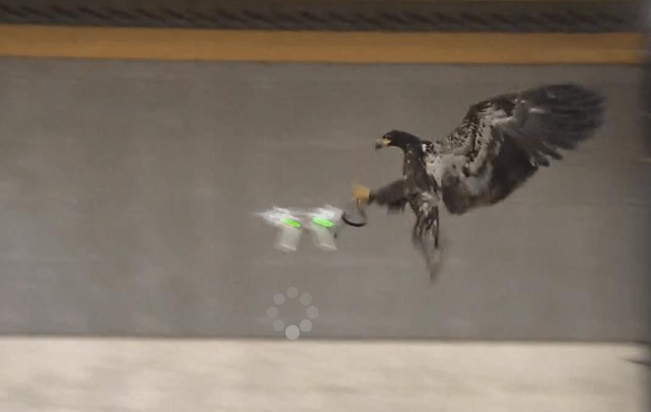 Gefiederte Drohnenabwehr: Niederländische Polizei trainiert Adler ...