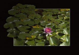 Seerose pink von Didjeh