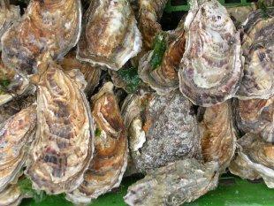 Austern von John Catley