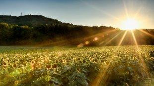 Sonnenblumenfeld von Winwood