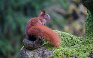 Eichhörnchen auf der Suche nach Nüssen von Steffi con Sombrero