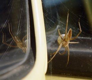 Spinne brütet am Außenspiegel von  Bühler