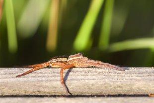 Gerandete Jagdspinne - Dolomedes fimbriatus von Makromann