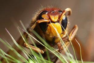 Die Hornisse (Vespa crabro) von Heike Schau