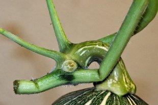 Kürbisgalerie 9 - das Seepferdchen (..Ungeheuer?) von Cactus64