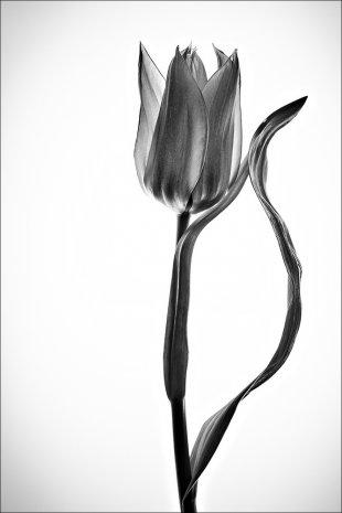 Schwarze Tulpe von Manfred Fessel