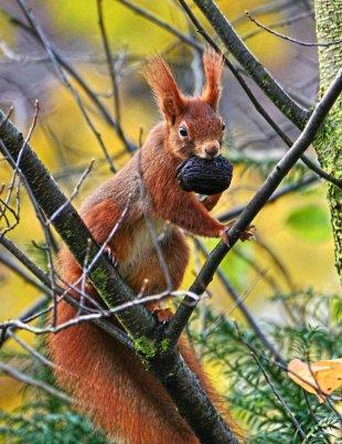 Eichhörnchen von WolfSta56