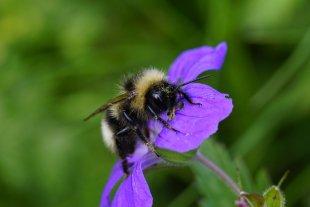 Biene im Schlaf von WoFo Pfalz