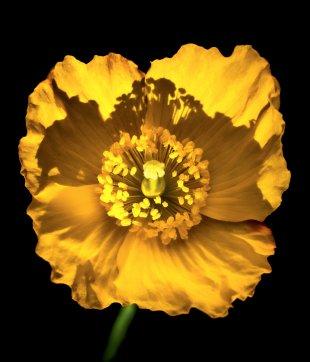 yellow von kris_1963