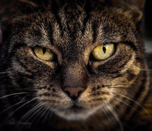 Katze fokussiert von Claus Brunswig