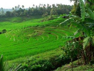 Die wunderbaren Reisterassen auf Bali 2 von RüdigerLinse