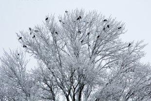 Rabenbaum von Reiner von der Schlei