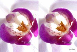 Orchidee, 3D-Kreuzblick von Otto Hitzegrad