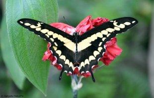 Wunderschöner Schmetterling von aaliyah_NaturPix