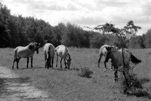 Przewalski-Pferde von Heike Maier