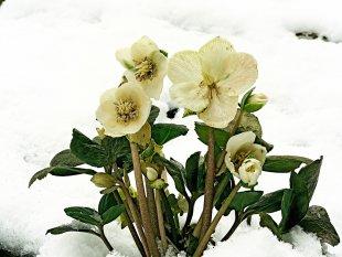 Blütenzauber im Schnee von Eberhard  Schmidt-Dranske