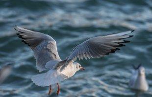 Möwe typische See- und Küstenvogel von Kupfer43
