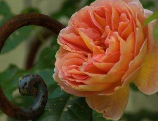 Englische Rose von dh_zelmen