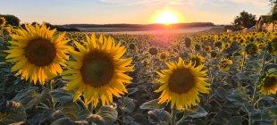 Sonnenblume von Hannes Deitzer