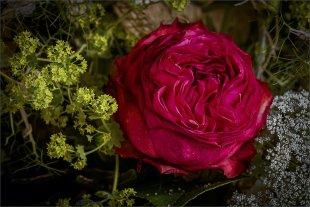 Rote Rosenblüte eingebettet in zartes Grün und Weiß von FMW51