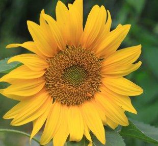 eine gestitchte sonnenblume von speedys silencer