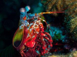 Fangschreckenkrebs von latediver