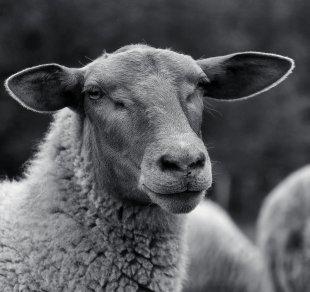 Schaf von Eberhard  Schmidt-Dranske