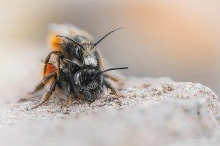 Mauerbienen bei der Paarung von Valentin Gutekunst