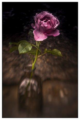 Gartenrose . . . . . . von Bernd Seibel