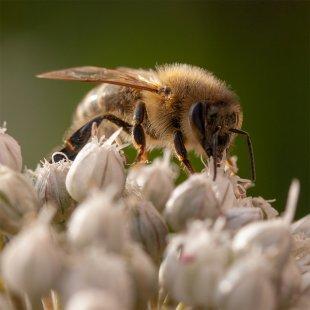 Biene von 35mm