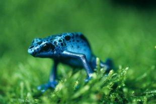Blauer Giftpfeilfrosch von Peter Nonhoff-Arps