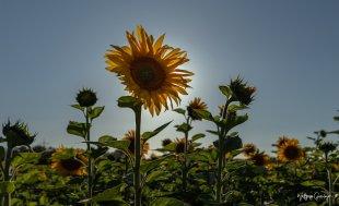 Die Sonnenblume von Groessi