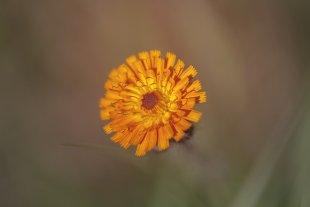 Orangerote Habichtskraut - Pilosella aurantiaca von Makromann