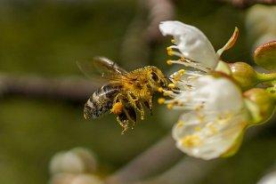 Biene fliegt eine Kirschblüte an von Plotnik27