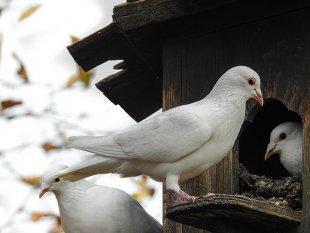 weiße Tauben von Dino (1)