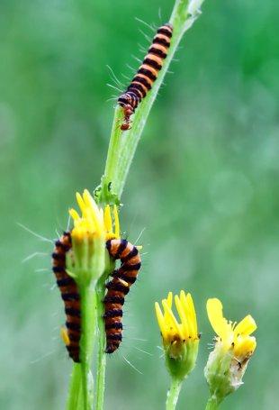 Raupen und angreifende Ameise von Eberhard  Schmidt-Dranske