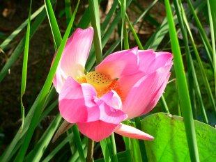 Lotusblüte von RüdigerLinse
