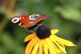 Schmetterling von jawa85