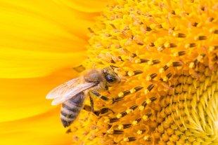 Sonnenblume mit I-Punkt von JensonR