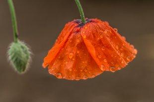 Mohnblume im Regen von FINE ART PHOTOGRAPHIE