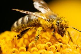 Honigbiene auf einer Sonnenblume von lichtbild