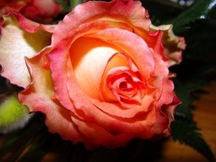 Rose von bmjj85
