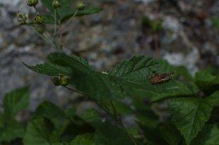 Gomphocerinae von Harry Dona