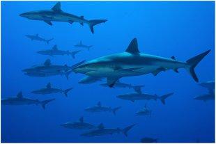 Schule von Schwarzspitzenhaie von fritzbits