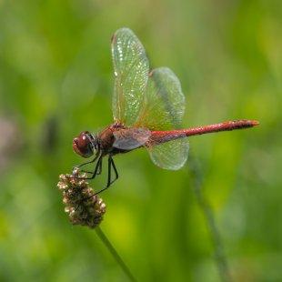 Libelle von 35mm