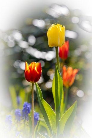 Tulpe 4 von DiSe.fotografie