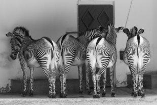 Zebras von Stephan Gläser
