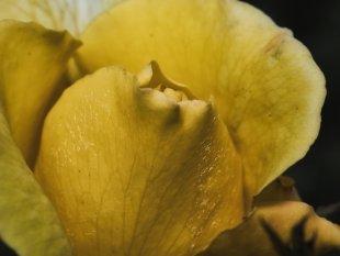 gelbe Rose von Wolfgang Görgen