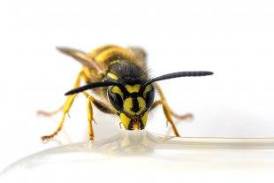 Durstige Wespe.jpg von Daborius